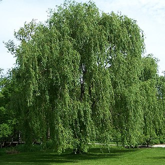 Willow - Image: Salix alba Morton