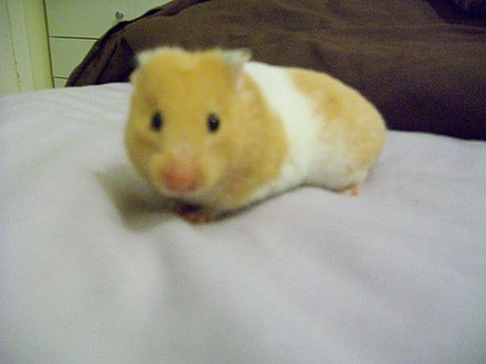 Syrian hamster variations - Wikiwand