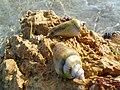 Salty water baby crabs.jpg