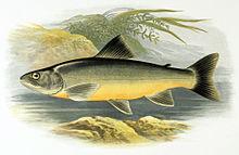 Salvelinus killinensis httpsuploadwikimediaorgwikipediacommonsthu