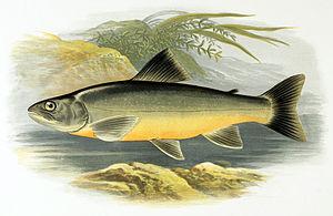 Salvelinus - Salvelinus killinensis, Scotland