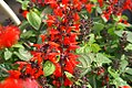 Salvia Hummingbird Forest Fire 1zz.jpg