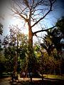Samaúma (Ceiba pentrandra) no Jardim Botânico do Rio de Janeiro.JPG