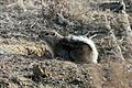 San Joaquin Antelope Squirrel - Flickr - GregTheBusker.jpg