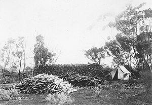 Santalum spicatum - A sandalwood cutters camp in the Wheatbelt of Western Australia