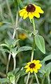 Sanvitalia procumbens - plant (aka).jpg