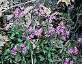 Saponaria ocymoides 2.jpg