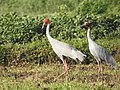 Sarus Crane, Yeshvant Sagar, Indore, India.jpg