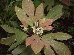 Sassafras, Saxifras, Tea Tree, Mitten Tree, Cinnamonwood (Sassafras albidum).jpg