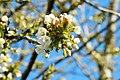 Sauerkirschblüten Donnerstag 16. April 2020 (5).JPG