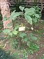 Saurauia tristyla - Hong Kong Botanical Garden - IMG 9592.JPG