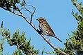 Savannah sparrow, pirates cove (37120221094).jpg