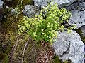 Saxifraga moschata 3-T6.jpg