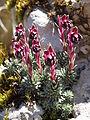 Saxifraga sempervivum Botanical garden Munich.JPG