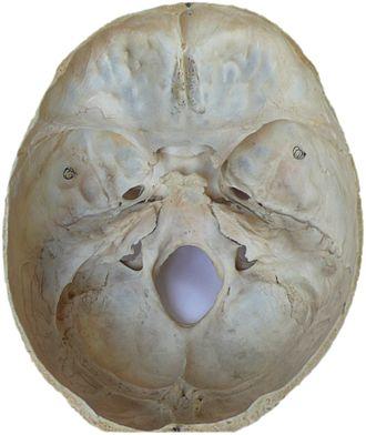 Neurocranium - Image: Schädelbasis 1