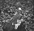 Schade, hogere planten, zwammen, daedalea quercina, Bestanddeelnr 193-0858.jpg