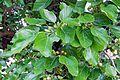 Schildau Maulbeerbaum Fruechte 1.jpg