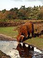 Schotse hooglander op de Zuiderheide, Noord-Holland 3.jpg