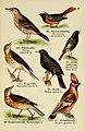 Schreibers kleiner Atlas der einheimischen Vögel (Pl. 9) (6076322891).jpg