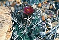 Sclerocactus blainei fh 106 NV B.jpg