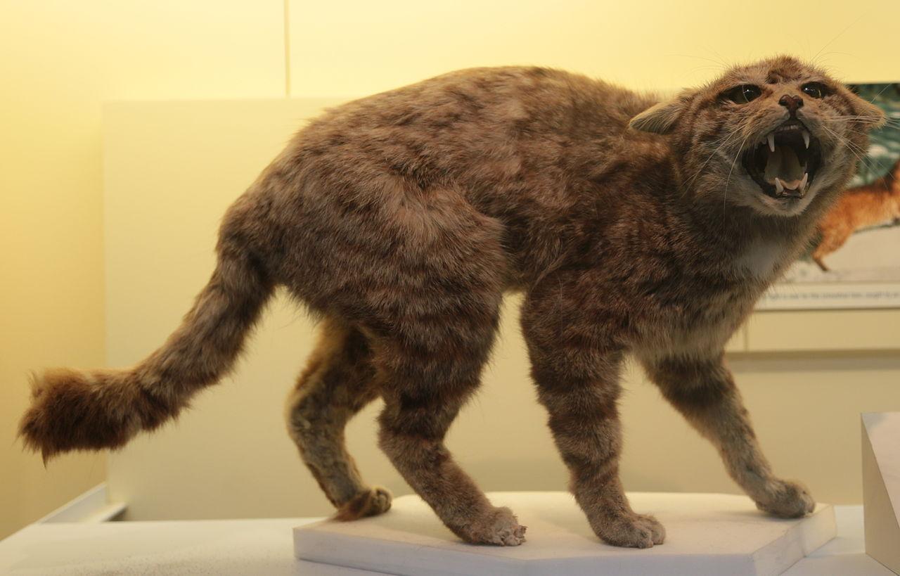 File:Scottish Wildcat (Felis silvestris grampia), Natural
