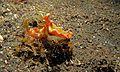 Sea Slug (Ceratosoma tenue) (6072578777).jpg