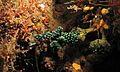 Sea Slug (Nembrotha cristata) (6065479086).jpg