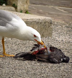Seagull feeding on a dove2.jpg