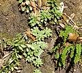 Sedum cepaea plant (25).jpg