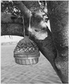 Seminole Coiled Sweet Grass Basket with Cloth Top. - NARA - 281628.tif