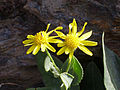 Senecio pyrenaicus subsp. granatensis FlowerCloseup 2009July28 SierraNevada.jpg