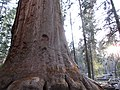 Sequoia from Trail of 100 Giants.jpg