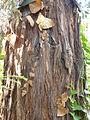 Sequoia sempervirens-Jardin des plantes 01.JPG