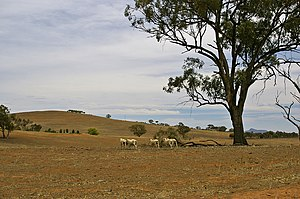 English: Sheep on a drought-affected paddock n...