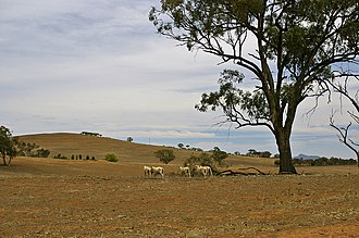Sheep on a drought-affected paddock.jpg