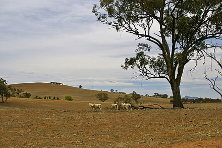 Drought-affected paddock in the New South Wales farming region of the Riverina Sheep on a drought-affected paddock.jpg
