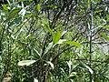 Shepherdia argentea 2017-05-23 0874.jpg