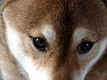 Shiba inu eyes.jpg