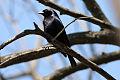 Shiny Cowbird (Molothrus bonariensis) (8077519954).jpg