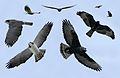 Short-Tailed Hawk From The Crossley ID Guide Eastern Birds.jpg