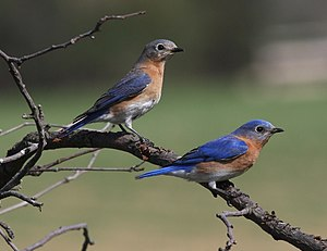 Eastern bluebird - Pair in Michigan