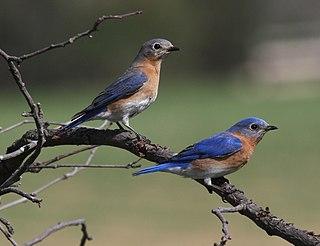 Eastern bluebird species of bird