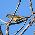 Sicalis citrina-Stripe-tailed Yellow-Finch.jpg