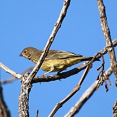 Sicalis citrina-Stripe-tailed Yellow-Finch.jpg
