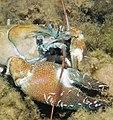 Signal crayfish branchiobdellid crop 1.jpg