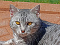 Silver Tabby Cat Portrait in Texas.jpg