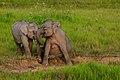 Sitting Elephant in Khao Yai national park (15789028250).jpg