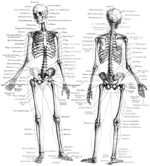 Skelett des Menschen MK1888