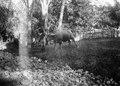 Slakt av en buffel. Männen har bamburör för att uppsamla blodet då halsen avskäres - SMVK - 010764.tif
