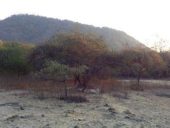 Sleeping lion - Gir Forest4.jpg